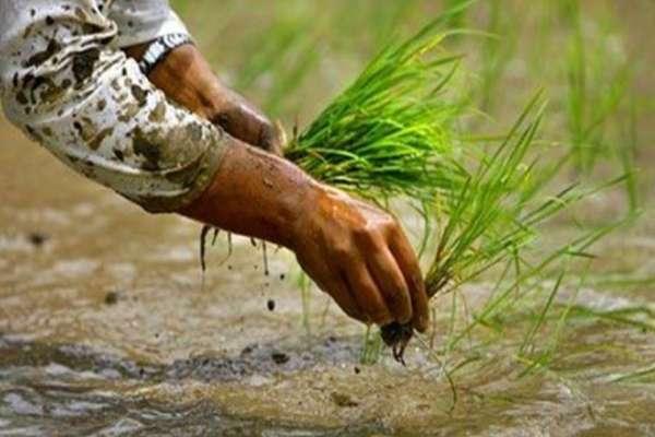 देशकै अन्न भण्डार: बर्दियाका किसानद्वारा मलविना नै रोपाइँ